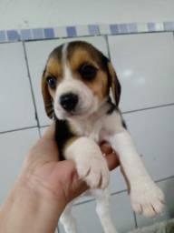 Beagle Com Garantia e procedência