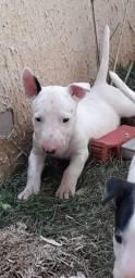 Bull terrier filhote fêmea vacinadas