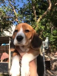 Cadela beagle roubada