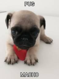 Lindo bebê de pug