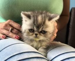 Filhote de gata persa exótica femea pura.Parcelo cartão.Entrego em Joinville,Camboriu