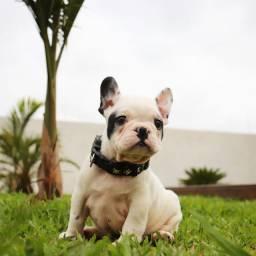 Bulldog francês pirata disponível