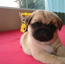 Pug - Filhotes Lindos com Pedigree