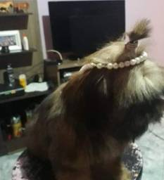Lhasa mini fêmea