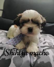 Filhote macho de shihtzu