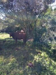 vacas e novilho