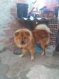 Cachorro Da Raça Chow Chow