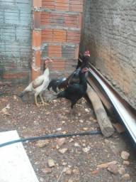 Vende frangos e frangas indios interesados só chamar ..zap 99285.0641