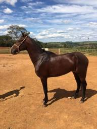 Cavalo Mangalarga Marchador Novo Domado Super Dócil