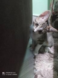 Gato  para adoção.