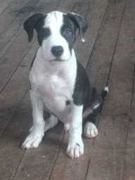 Vendo ou faço negócio nesse filhote de pitbull com 3 meses