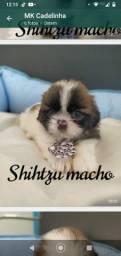Shihtzu machinhos disponíveis para retirada ou entrega