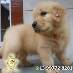 Golden Retriever maravilhosos ,machos e femeas top , com procedência e pedigree!!!