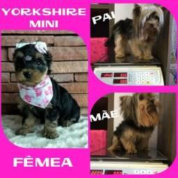 Feminha de Yorkshire Mini Disponível * Microchipada * Garantia * Parcelado 12X