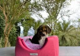 Filhotes maravilhosos de Beagle (_