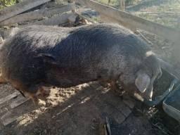 Porca caipira boa para toicim ou para criação de filhotes suinos