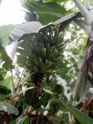 Vende-se banana prata e caturra