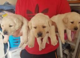 Labrador - Pronta Entrega