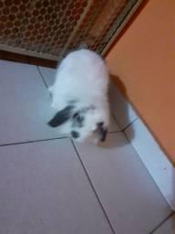 Coelho fuzzy lop 6 meses
