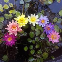 Muda de flor de lotus (ninféia/lírio d'água/waterlily)