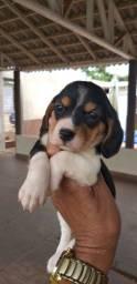 Beagle fêmea filhote com 45 dias( canil metodio)
