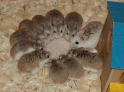 Hamster (Casal)