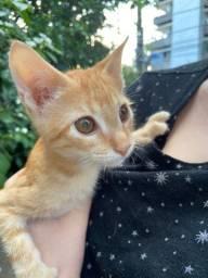 Gato (macho) para adoção responsável, +/- 4 meses, vacinado vermifugado