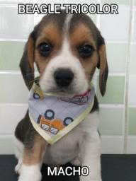 Beagle Muito lindos/ Entregamos
