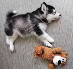 Husky Siberiano os mais lindos
