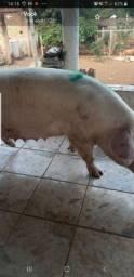 Porcos, Leitão ,porcas