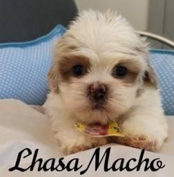 Filhote de Lhasa macho
