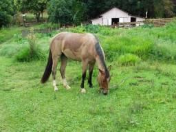 Égua crioula com quarto de milha
