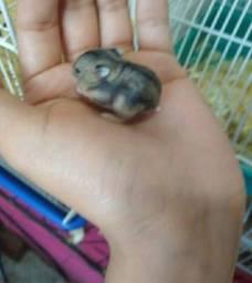 Doação de filhote de hamster russo
