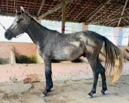 cavalo - mangalarga marchador