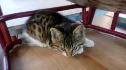 Doação gato bengal com Ciamês