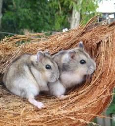 Vendo hamster chinês ou anã Russo