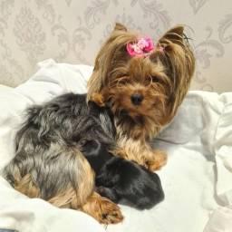 Lindo filhote de Yorkshire Terrier