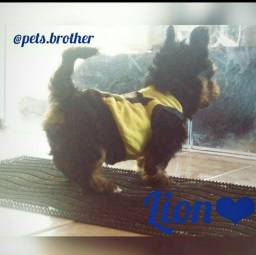 Yorkshire Terrier disponível
