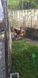 Vendo galinha galize  galo galize