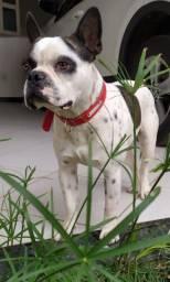Bulldog Francês com Boston Terrier