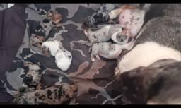 Dachshunds Filhotes ( Basset )
