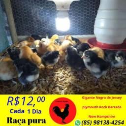 Venda permanente de ovos férteis (galados) e Pintinhos de 1 dia de raça pura