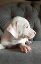 Lindos Filhote de pitbull legítimos