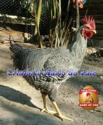 Aves de raça ; galinha poedeira; raça ornamental; Plymouth Rock Barrado