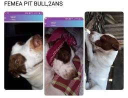 Fêmea pit bull inf *