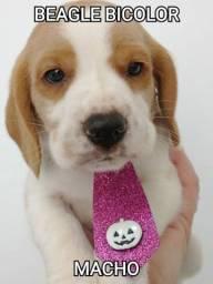 Beagle minis