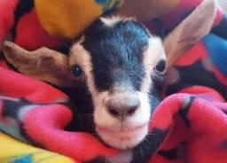 Filhote de cabra