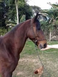 Cavalo Marcha Batida - 7 anos e meio