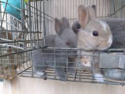 Filhotes de mini coelhos (Nethelarnd )
