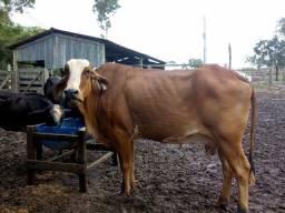 Vaca de 20 lts. Uma tirada só.